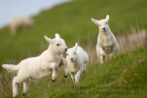 image: photo of three lambs frolicking in green grass | caption: Richard Peters Photography, richardpeters.co.uk